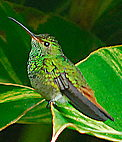 Rufous-tailed Humming Bird. See more bird pictures in Gallery.