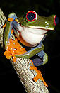 Red Eyed Tree Frog. See great pictures in Gallery.