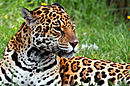 Jaguar, the greater American feline
