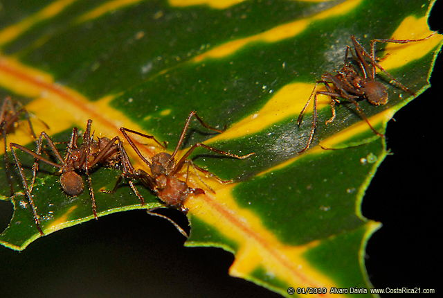 Rainforest Leaf Cutter Ants