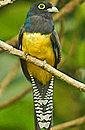 Trogon Violaceous. Learn more on Costa Rica Exotic Birds.
