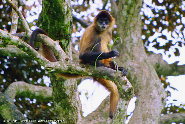 Monkeys of Costa Rica